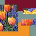 80 Cascade: Canadian Tulip Festival